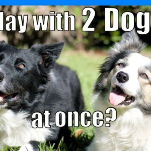 How To PLAY With Two Dogs at Once