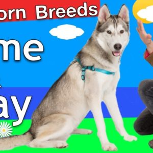 """How to train Come and Stay to a """"Stubborn Breed"""" Dog"""