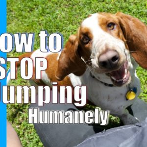 How to Train Your Dog to STOP JUMPING on People