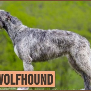 Irish Wolfhound Dog Breed - The Tallest AKC Dog Breed