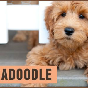 Labradoodle - Dog Breed Information