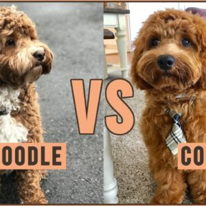 Labradoodle vs Cockapoo - Which Breed Is Better?