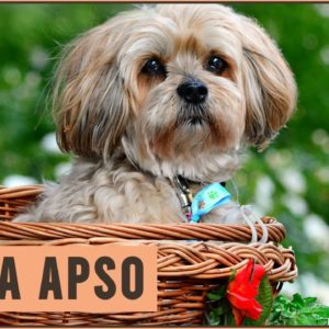Lhasa Apso - Dog Breed Information