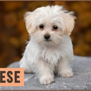 Maltese Dog Breed - Best Toy Dog Breed?