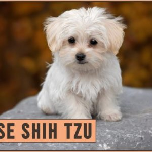 Maltese Shih Tzu Mix - Mix Breed Information