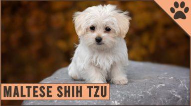 Maltese Shih Tzu Mix - Mix Breed Information