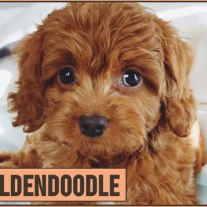 Mini Goldendoodle - The Miniature Size Goldendoodle