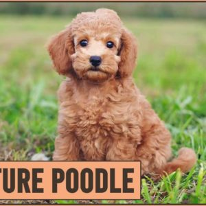 Miniature Poodle - Medium Size Poodle Version