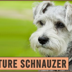 Miniature Schnauzer - Dog Breed Information