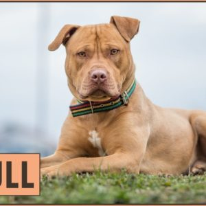 Pitbull - Dog Breed Information