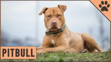 Pitbull - Dog Breed Information