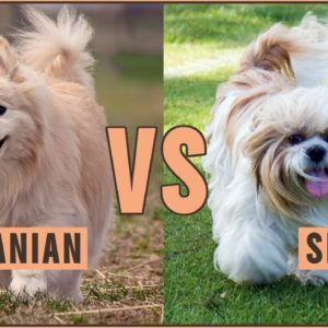 Pomeranian vs Shih Tzu - All Differences