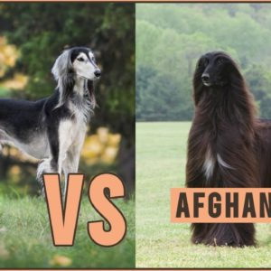 Saluki vs Afghan Hound - Which Breed Is Better?