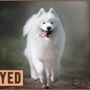 Samoyed - Everything about the dog breed