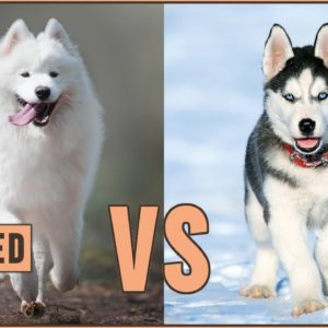 Samoyed vs Husky - Which Dog Is Better For You?