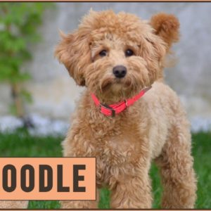 Schnoodle Dog Breed - The Schnauzer Poodle Mix Breed