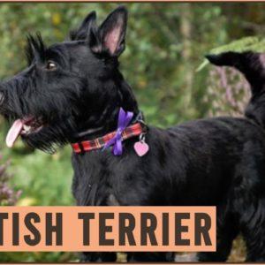 Scottish Terrier - Dog Breed Information