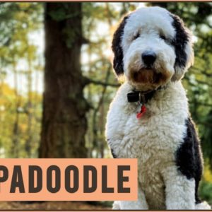 Sheepadoodle - Mix of Poodle and Old English Sheepdog