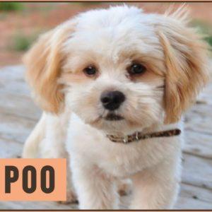 Shih Poo | Poodle - Shih Tzu Mix