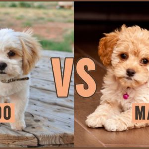 Shih Poo vs Maltipoo - Easy Comparison