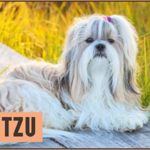 Shih Tzu - Dog Breed Information