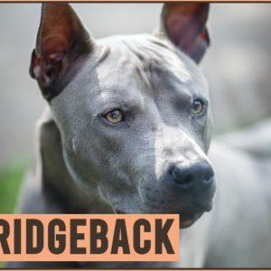 Thai Ridgeback - Why Get A Thai Ridgeback?