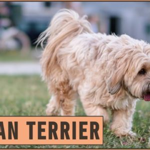 Tibetan Terrier Dog Breed - Everything You Need To Know