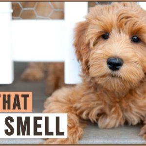 Top 10 Dogs That Dont' Smell
