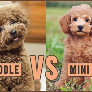 Toy Poodle vs Miniature Poodle