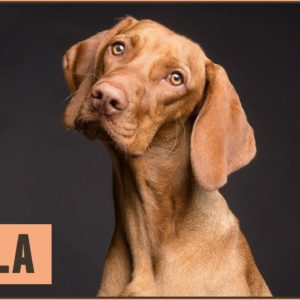 Viszla Dog Breed - Vizsla What To Know