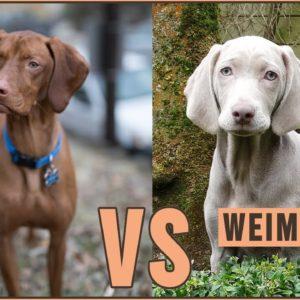 Vizsla vs Weimaraner - Dog Breed Comparison