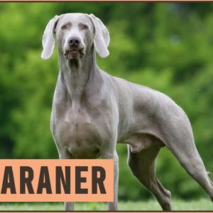 Weimaraner - All About The Dog Breed