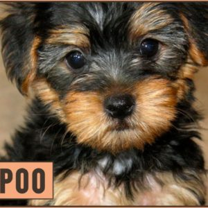 Yorkipoo - Yorkshire / Toy Poodle Mix