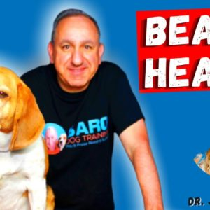 Beagle Health Issues | Some Common Health Issue with beagles By Dr. Judy Morgan Part 3