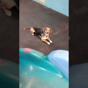 Are BEAGLES obedient dogs? #shorts