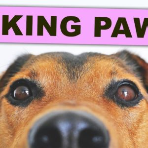 Why Do Dogs Lick Their Paws EXCESSIVELY? 🐾