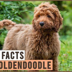 Mini Goldendoodle - Top 10 Facts