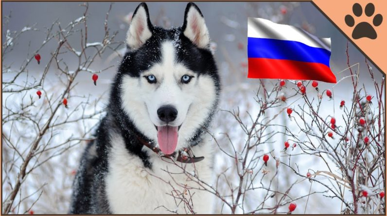 Top 10 Russian Dog Breeds