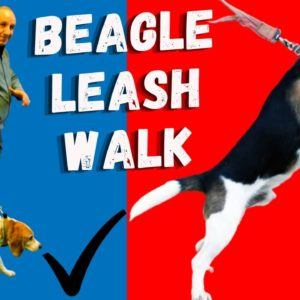 Beagle Leash Walking | Common Mistakes Beagle Owners Make When Walking Their Beagles