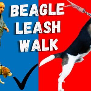 Beagle Leash Walking | Common Mistakes Beagle Owners Make When Walking Their Beagles