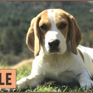 Beagle Dog Breed - Top 10 Facts