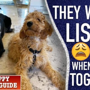 ...But What if You Have Another Dog? New Puppy Survival Guide!