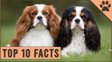 Cavalier King Charles Spaniel - Top 10 Facts