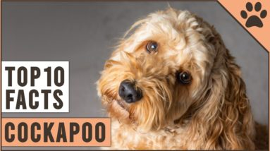 Cockapoo Dog Breed - Top 10 Facts