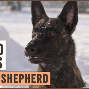 Dutch Shepherd - Top 10 Facts