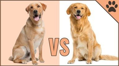 Golden Retriever vs Labrador Retriever - Dog Breed Comparison | Dog World
