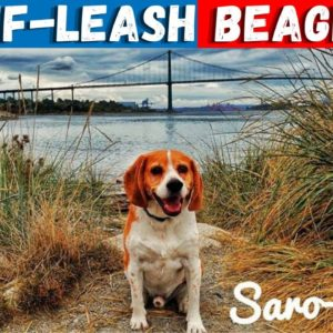 Should You Let Your BEAGLE Off The Leash | 3 Factors