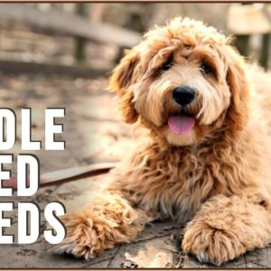 18 Poodle Mix Breeds That Will Melt Your Heart - Part 2 | Dog World