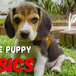 Beagle Puppy Basics: Part 2 | Watch This when You Get A Beagle Puppy | Saro Dog Training