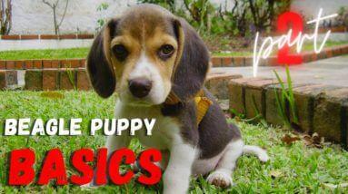 Beagle Puppy Basics: Part 2 | Watch This when You Get A Beagle Puppy | Saro Dog Training